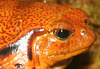 Orange Frog Closeup