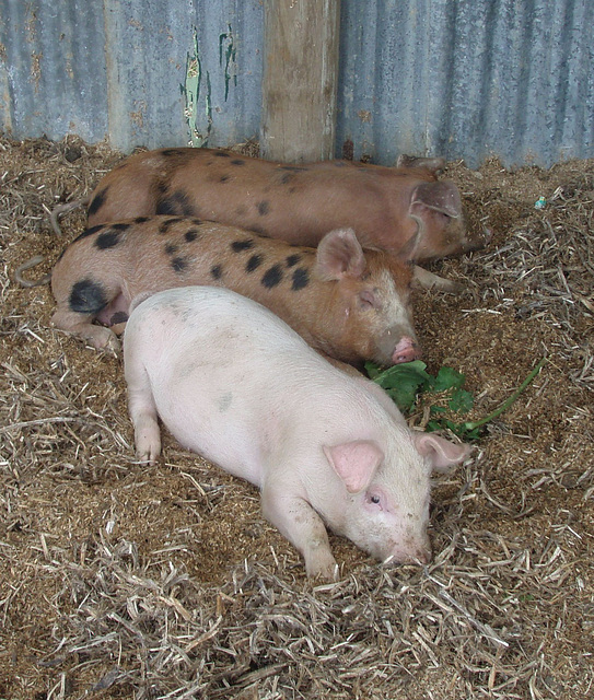 tired little piggies