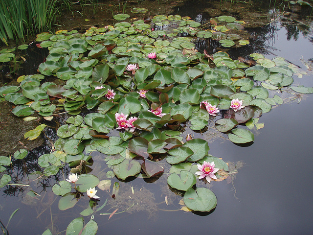 waterlillies on our pond