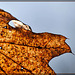 Stained Glass Oak Leaf
