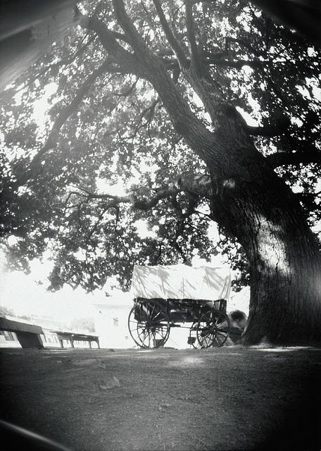 Sutter's Fort Oak
