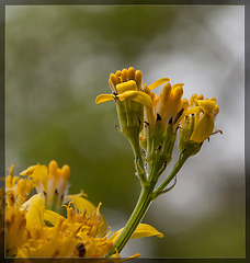 Tall Western Groundsel: the 77th Flower of Spring & Summer!