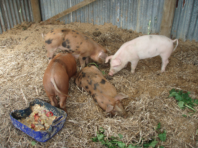 piglets in formation