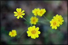 Oregon Sunshine: the 78th Flower of Spring & Summer!