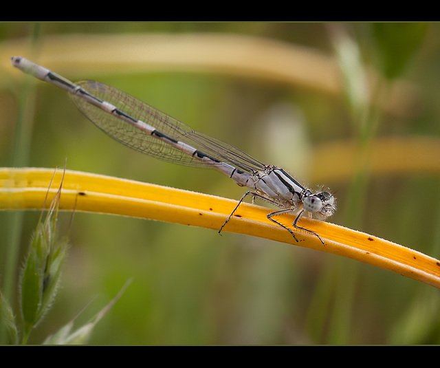Silver Damselfly (+1 note)