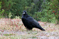 Raven in Banff National Park (Canada)