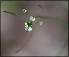 Hairy Bittercress: The 79th Flower of Spring and Summer