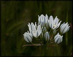 118thflowerwhiteclusterlilyside