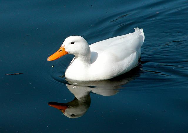 Reflected duck in Waterlow Park