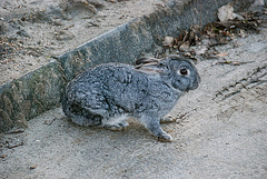 Rabbit adapted to a life on the grey streets