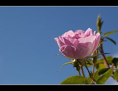 Old-Fashioned Pink Rose: The 119th Flower of Spring & Summer!