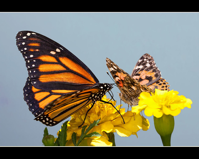 The Lovely Monarch and Painted Lady [Explore #37]