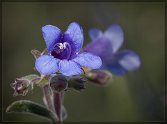 Lowly Penstemon: The 117th Flower of Spring & Summer!