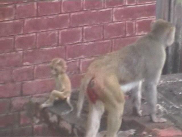 Monkeys on the rooftops