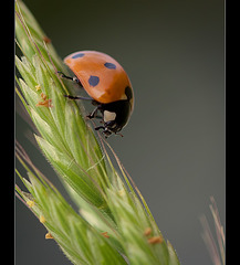 Darling Ladybug