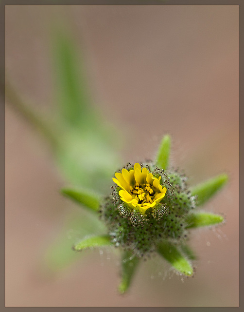 Slender Tarweed: The 115th Flower of Spring and Summer! [Explore #38]