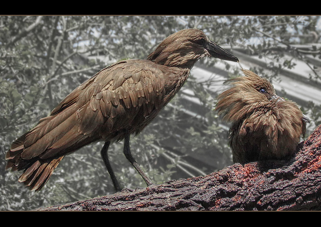 San Francisco Zoo: Hamerkop