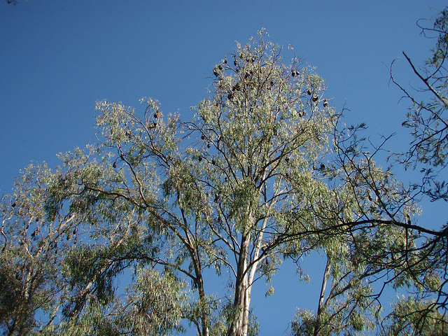 flying foxes at Yarra Bend