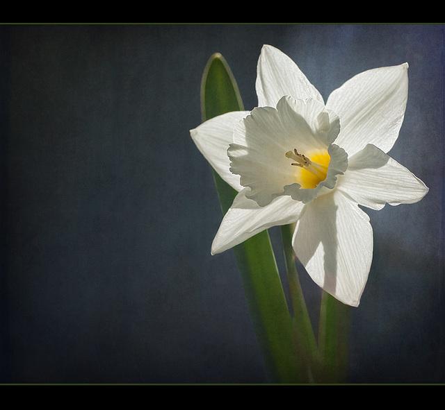 Daffodil Bride (1 picture below) [Explore]