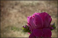 Pink Garden Rose: The 113th Flower of Spring & Summer!