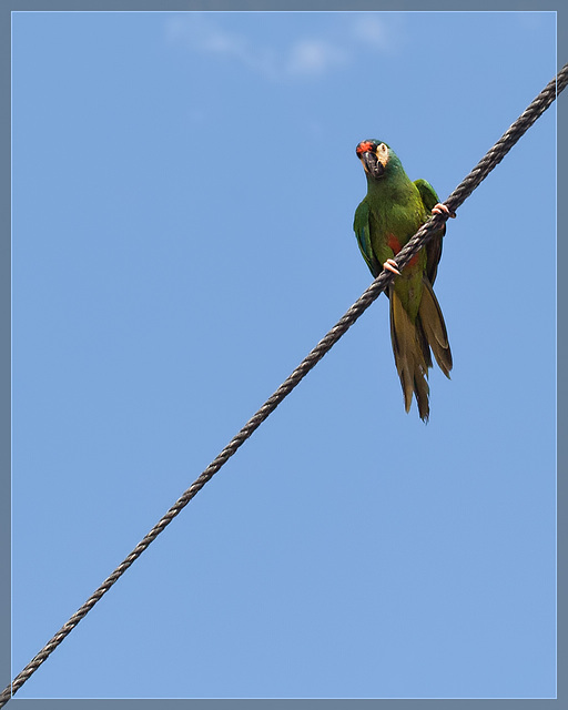 Pirate's Parrot Show: Bird on a Wire!