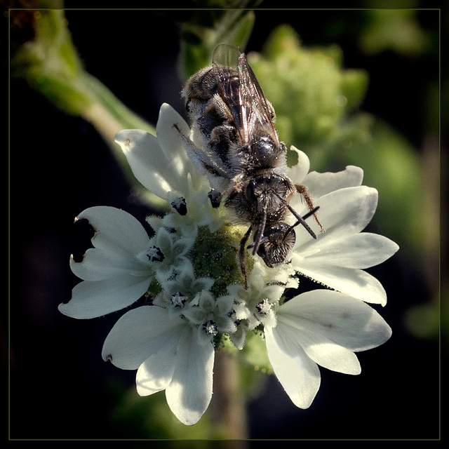 Amor! Two Bees on Rough Eyelash Blossom