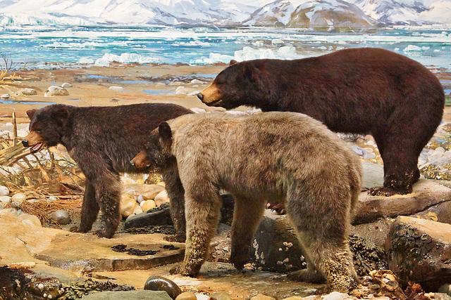 Alaskan Black Bears Diorama – Carnegie Museum of Natural History, Pittsburgh, Pennsylvania