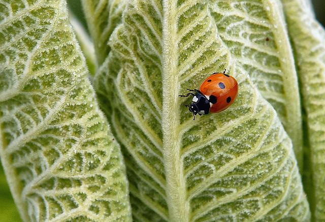 7 Spot Ladybird 16105