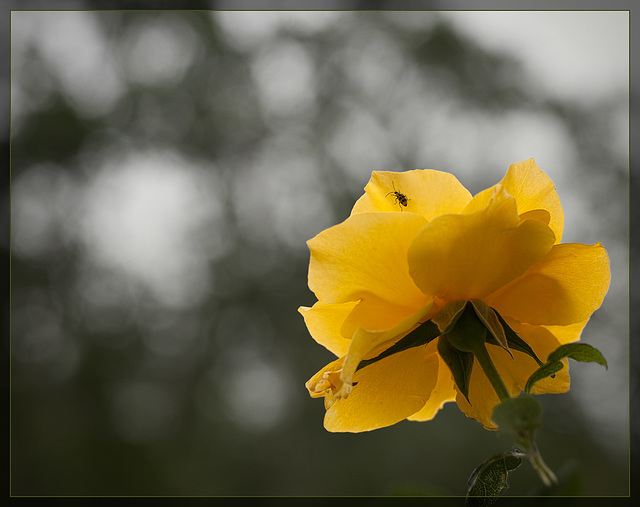 Golden Yellow Garden Rose: The 112th Flower of Spring & Summer! [Explore #35]