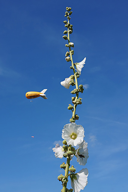 Hollyhock, The Blimp & The Bee