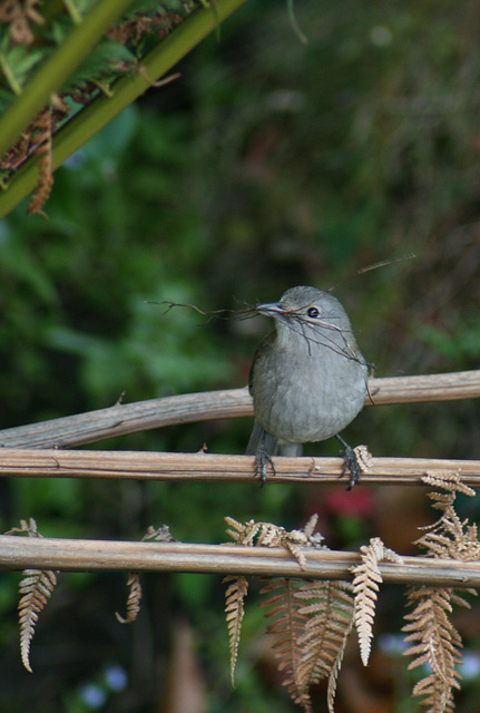 Grey Shrike-thrush (cropped)