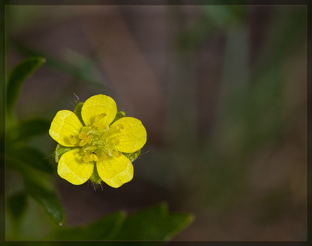 Water Plantain Buttercup: The 111th Flower of Spring & Summer!