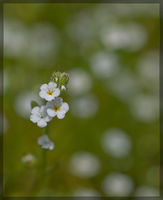 Soft Popcornflower: The 109th Flower of Spring & Summer!
