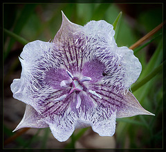 Tolmie's Mariposa Lily: The 70th Flower of Spring & Summer!