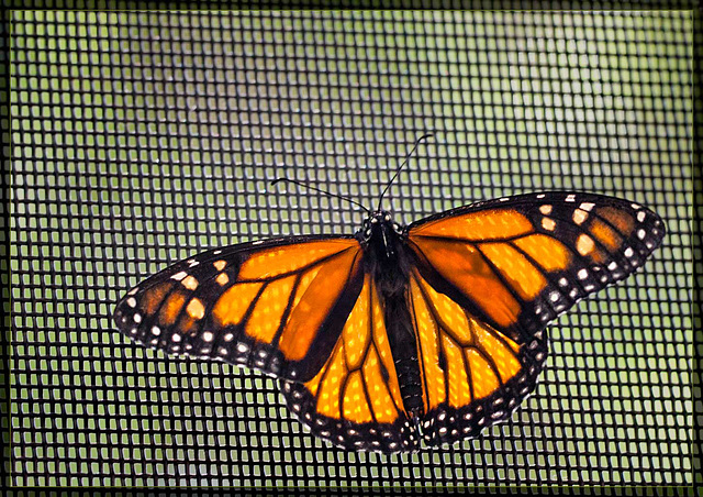 The Beautiful Monarch Butterfly