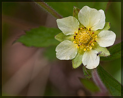 Sticky Cinquefoil: the 72nd Flower of Spring & Summer!
