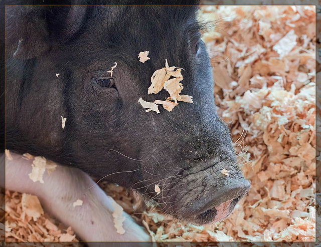 Piggy Fashion