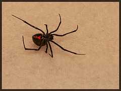 Venomous Beauty: The Black Widow Spider (STORY TIME!!)