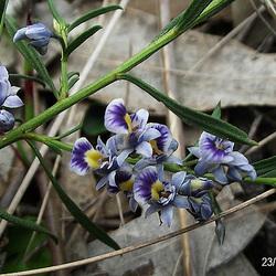 Hybanthus floribundus subsp. floribundus