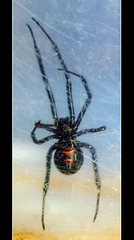Fascinating Facts About Widow Spiders!