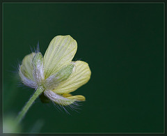 Creeping Buttercup: The 106th Flower of Spring & Summer