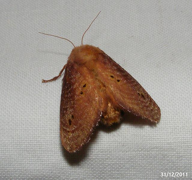 Doratifera Species