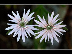 Stringflower: The 133nd Flower of Spring & Summer!