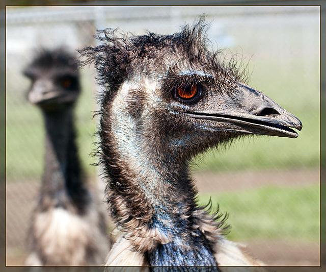 A Real Dinosaur!!! Wait, That's an EMU!