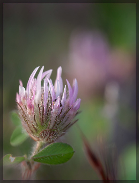 Small-head Clover: The 104th Flower of Spring & Summer!