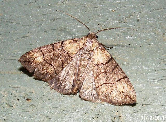 Dysbatus singularis