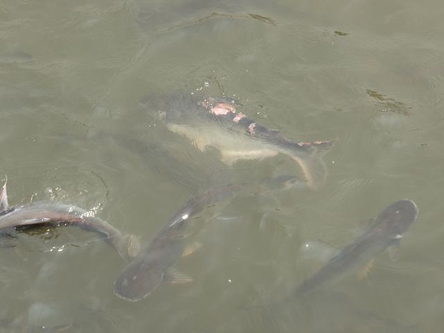 fish feeding on Chao Praya