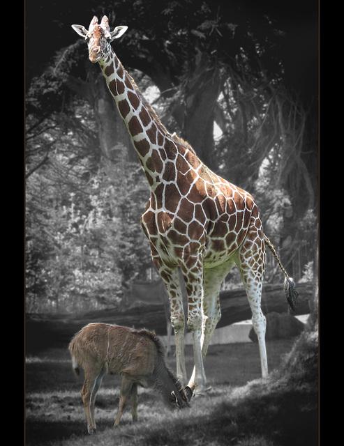 San Francisco Zoo: Giraffe and Young Kudu