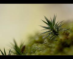 Spikey Moss