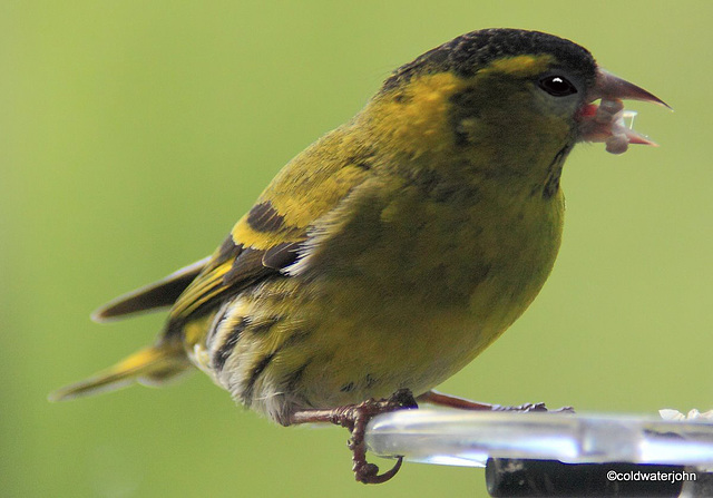 Siskin with a mouthful of sunflower seeds